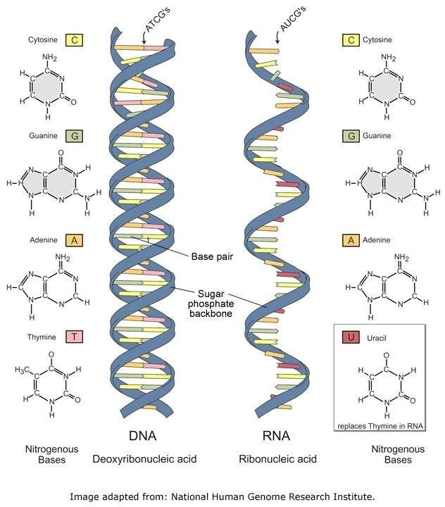 differences between dna and rna. The basic components of RNA