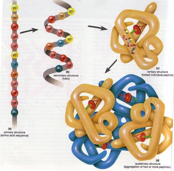 are aminoacids macromolecules